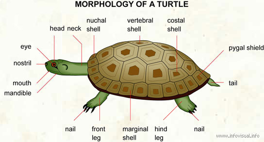 turtle morphology