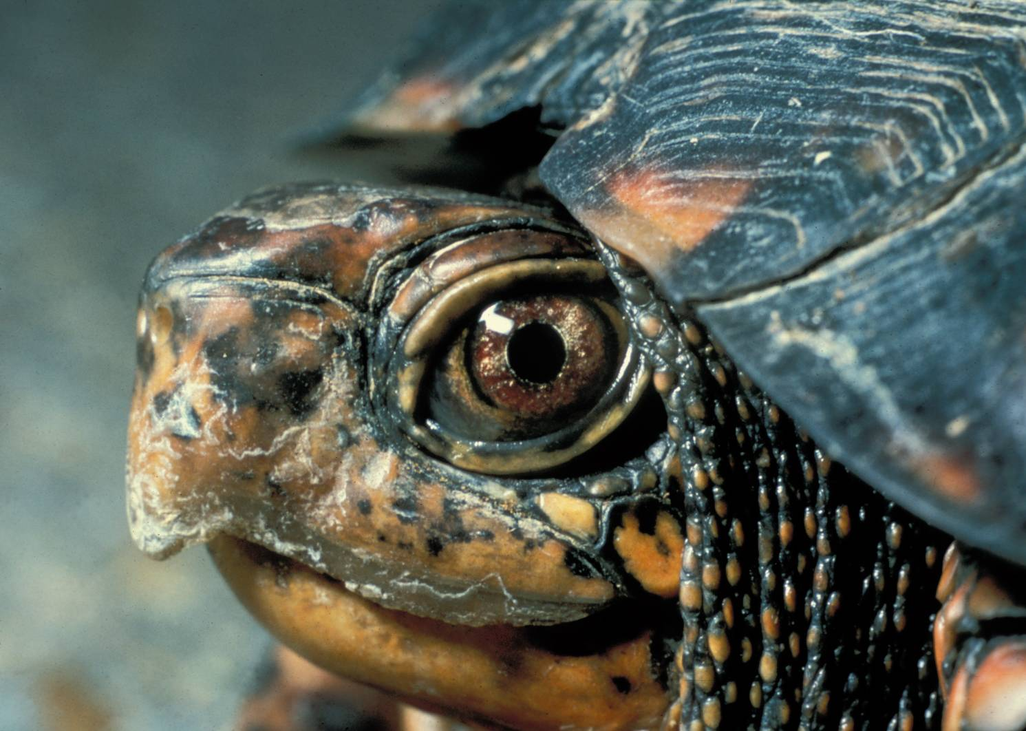 eastern box turtle head
