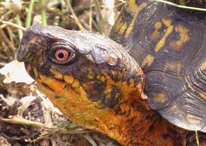 eastern box turtle red eye