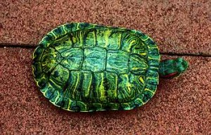 green red eared slider