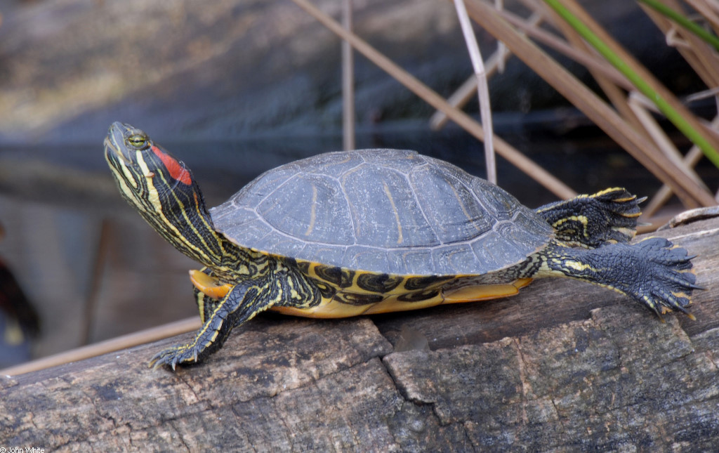Red Eared Slider Turtle - Info Turtle