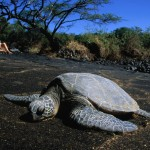 Sea Turtles – Endangered species