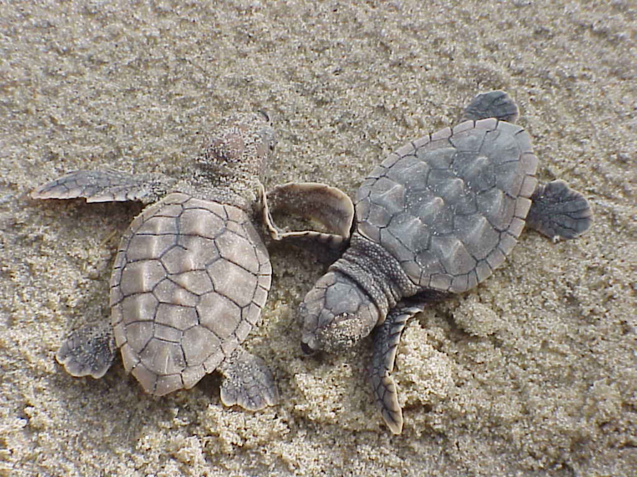 Loggerhead_sea_turtle_hatchlings