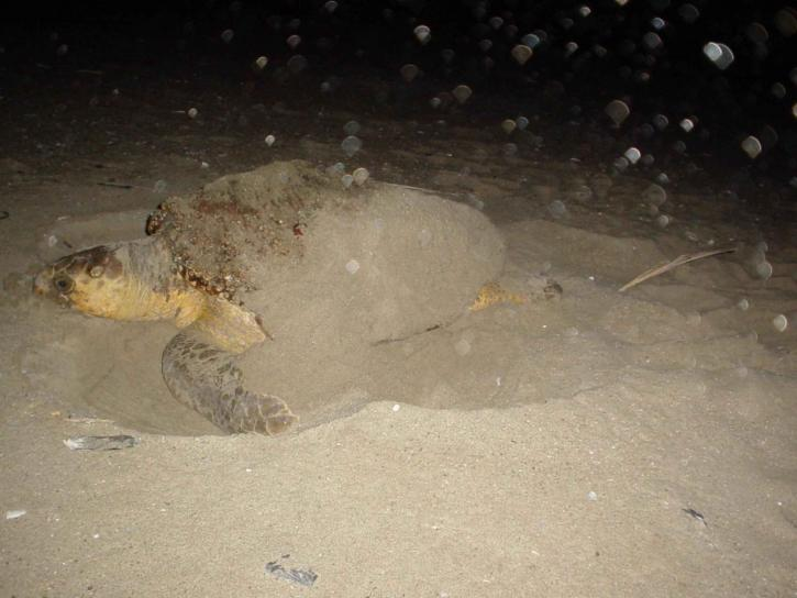loggerhead turtle laying eggs