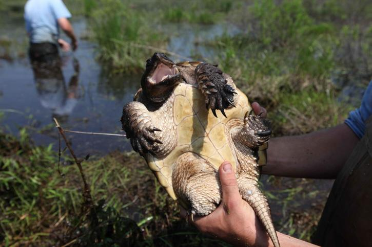 alligator snapping turtle belly