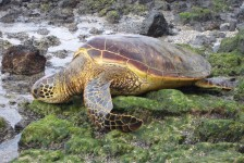 Green_Sea_Turtle_on land