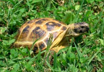 Russian Tortoise in grass