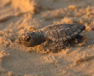Turtle_hatchling_kemps ridley turtle
